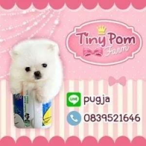 Tiny Pom