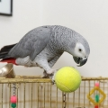Tame And Talking African Grey Parrot For Sale